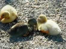 Kaz (Badi) Yavruları - Erbaa Keklik ve Sülün Yetiştirme Çiftliği (İstasyonu)
