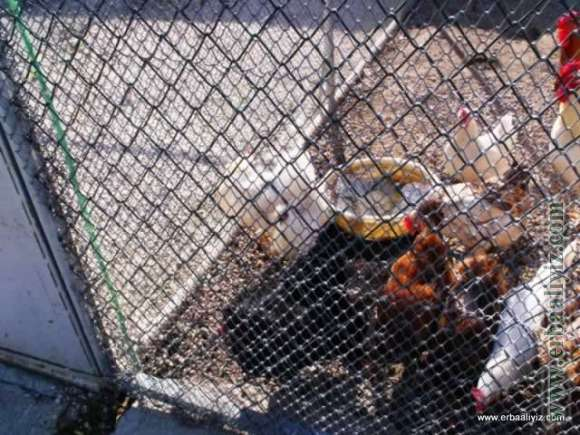 Tavuklar - Erbaa Keklik ve Sülün Yetiştirme Çiftliği (İstasyonu)