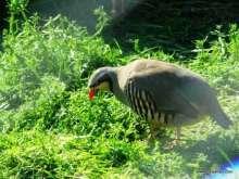 Kınalı Keklikler - Erbaa Keklik ve Sülün Yetiştirme Çiftliği (İstasyonu)