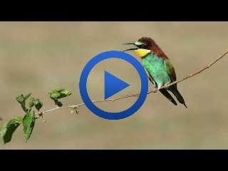 Arı Kuşu (Erbaa Organize Sanayi) (Merops apiaster - Rainbow bee-eater)